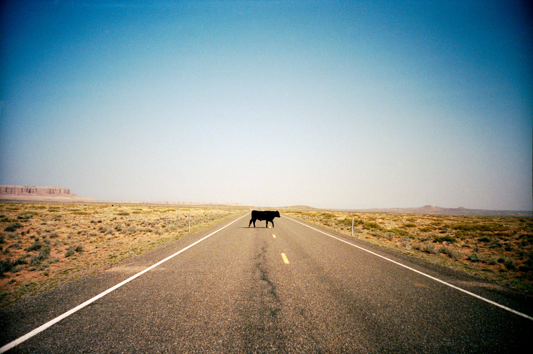 Four Corners, cow in the road, Utah, Webb Chappell travel photography