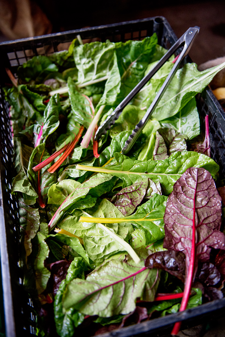 rainbow chard at the Salt Box Farm C.S.A. Concord MA fall harvest
