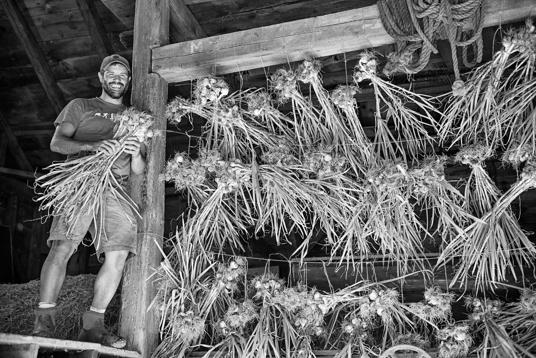 farmer bundling garlic for the Salt Box Farm C.S.A. in Concord MA