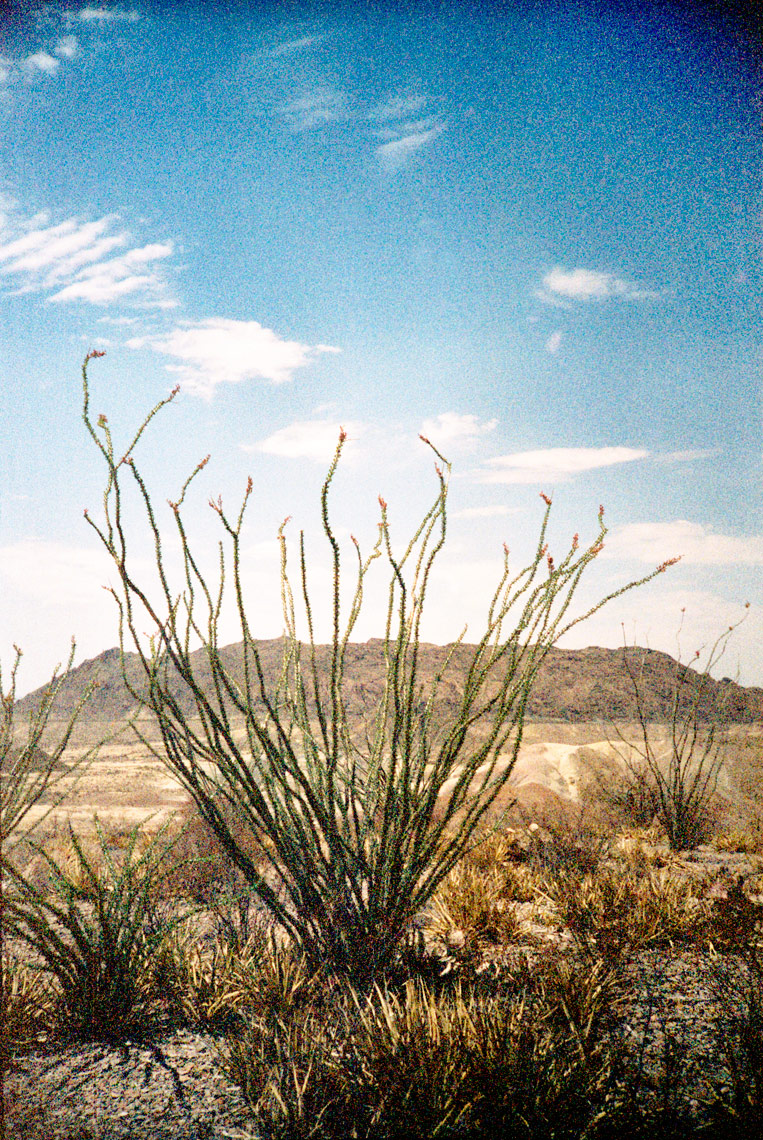 cactus on the Chihuahuan Desert Big Bend National Park